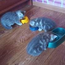 Чистокровные шотландские котята, в Лиски