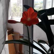 Гиппеаструм-амариллис красный, в Самаре