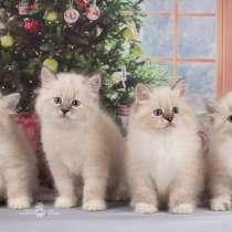 Невские маскарадные котята, в Санкт-Петербурге