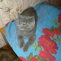 Экзотические плюшевые короткошетстные мраморные котята экстр, в г.Гомель