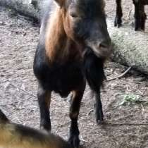Альпийский козел (смена производителя), в Голицыне