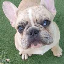 French Bulldog, в г.Petah Tiqwa