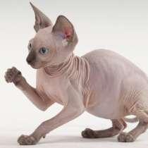 Продам веселых котят, порода сфинкс, в Симферополе