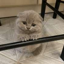 Продам вислоухих шотландских котят оптом, в г.Барановичи