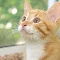 Рыжий котенок Лео, летнее солнышко в дар. 3 мес, в Москве