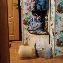 Продам щенка померанского шпица. Клубный пёс, в Москве
