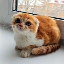 Шотландские котята, в Омске