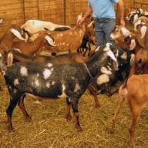 Племенные козы Англо-Нубийскиой породы (Скот из Европы класс, в Красноярске