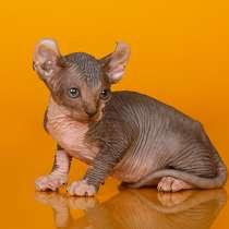 Эльф, бамбино, Cфинкс, это кошка с другой планеты, в Саратове