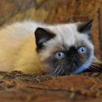 Экзотик котенок Гав, в Челябинске