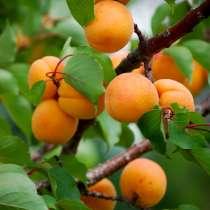 Крупномеры абрикоса по низким ценам, в Москве