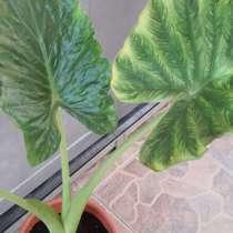 Растение лист 1м, в г.Никосия