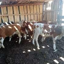 Продаем бычки и коровы, в Сибае