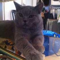Продается два шотландских кота, в г.Valencia