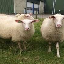Племенные овцы породы Восточно-фризкая (Скот из Европы), в Красноярске