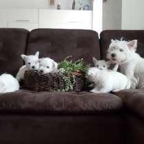 Продам щенков Веста, в Красноярске