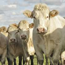 Коровы бычки телята Майкоп, в Майкопе