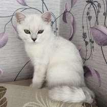 Британский котенок шоу класса мальчик Цезарь в разведение, в Москве