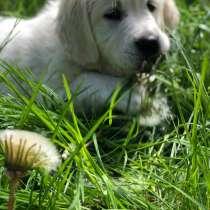 Продам щенка Золотой ретривер, с родословной, в г.Дрезден