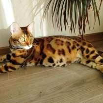 Бенгальские котята от титулованной кошки WCF CACIB, в Санкт-Петербурге