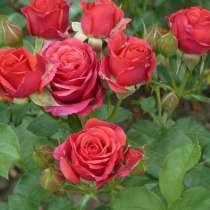 Саженцы Роз в Динской опт и розница, в Краснодаре