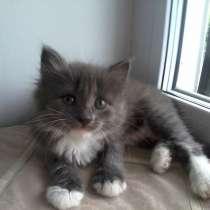 Котёнок ангорка девочка, в Миассе