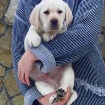 Очень красивые щенки Лабрадор ретривер. Палевый окрас, в г.Хмельницкий