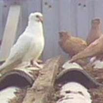Продам голубей разных пород, в Краснодаре