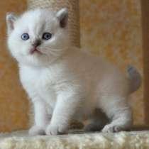 Шотландских породистых котят, в г.Могилёв