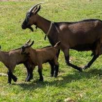 Племенные козы Чешские гнедые (Скот из Европы класса Элита), в г.Ереван