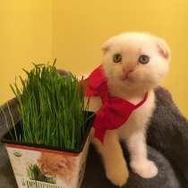 Шотландский вислоухий котёнок, в г.Бруклин