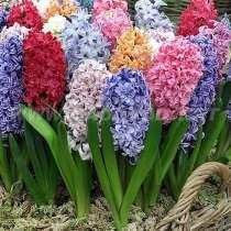 Продажа луковиц тюльпанов, ирисов и многих других цветов, в Раменское