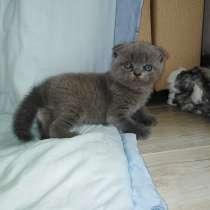 Вислоухие котята, в Екатеринбурге
