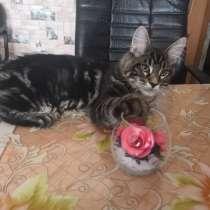 Котик Мейн кун, в Коркино