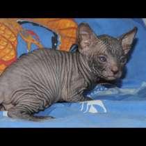 Котята донского сфинкса, в г.Ашдод