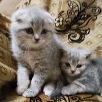 Продам шотландских котят, в Боровичах