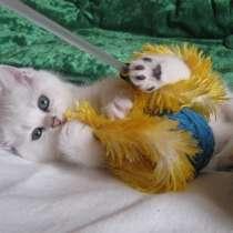 Британские котята, в г.Рига
