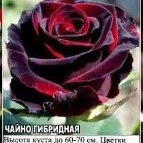 Саженцы сибирских роз 2020, в Новосибирске