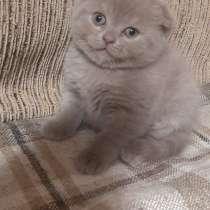 Шотландские котики, в г.Витебск