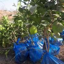 Дарахти лимон бо нархи арзон фурухта мешавад, в г.Душанбе