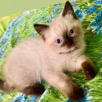 Шотландский прямоухий котёнок, в Хабаровске
