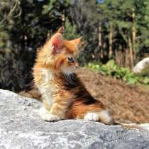 Котята мейн-куны, питомник IZ doma bennetti, в Новосибирске