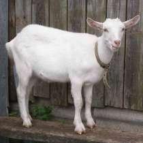 Комолые козы, в Ангарске