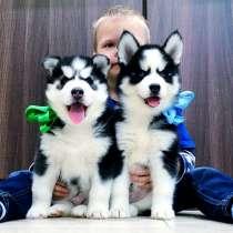 Красивые черно-белые щеночки хаски, в Фролово