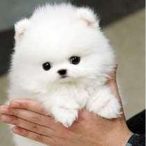 В наличии прекрасные щенки померанского шпица, в г.Anakie