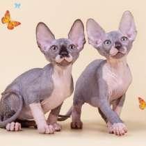 Упитанные и воспитанные котята-сфинкс, в г.Будапешт