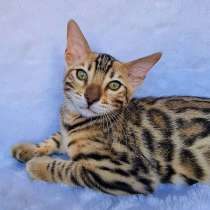 Продаются чистокровные бенгальские котята, в г.Минск