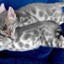 Голубые бенгальские котята, в г.Девентер