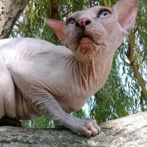 Кошка канадский сфинкс, в Краснодаре