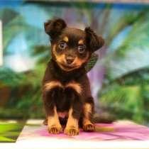 Продам щенков Длинношерстного той-терьера, в Красноярске
